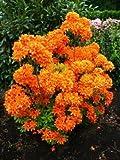 bronzegelb blühende Garten Azalee Rhododendron luteum Golden Eagle 30 - 40 cm hoch im 5 Liter...