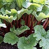 Kölle Himbeer-Rhabarber Pflanze - rotstielige Rhabarberstaude von Pflanzen 3 Liter Topf - Rheum...
