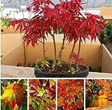 50 PC-amerikanischer Red Maple Samt schönen Ahornbaum-Samen für DIY Hausgarten pflanzt Easy Grow...