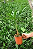 Trachycarpus Naini Tal - Hanfpalme- Winterhart - verschiedene Größen (40-60cm -Topf Ø 15 cm - 2,5...