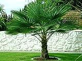 Trachycarpus fortunei ca. 50-60 cm. Frostharte Hanfpalme bis -17 Grad