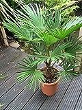 Trachycarpus wagnerianus, Hanfpalme, Palme, Winterhart, Gesamthöhe: 90-110cm, Stamm: 15-25cm, Topf:...