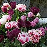 Frühe Tulpenmischung - 50 blumenzwiebeln
