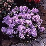 Pflanzenservice Zwerg-Rhododendron, Rhododendron impeditum, blau blühend, 1 Strauch, buschig, 15 -...