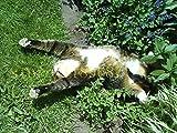 100 Stück Katze Minze Aromatische Pflanzen Katzenminze, Katzenminze Samen, Aromatische Pflanzen...
