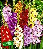 BALDUR-Garten Gladiolen-Mischung, 100 Zwiebeln Gladiolus 100 Stück zum Sonderpreis...