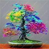 Baumsamen 20 Ahornsamen Gärten japanische Ahornsamen Balkonpflanzen für Haus blau Ahornbaum Bonsai...