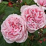 Parfuma Kletterrose, Kiss me Kate, rosa, 12 x 12 x 40 cm, 3-31