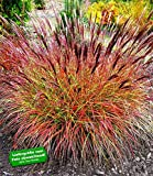 BALDUR-GartenChinaschilf 'Red Chief' 1 Pflanze Miscanthus sinensis winterhart