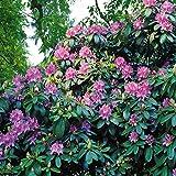 Rhododendron catawbiense Blau - 1 strauch