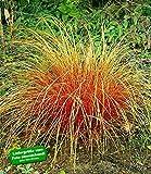BALDUR-Garten Carex 'Bronze Reflection' Segge, 3 Pflanzen