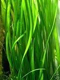 10 Bunde Vallisnerien, Vallisneria, Aquariumpflanze