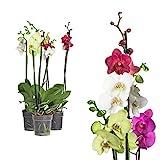 3x echte Phalaenopsis Orchideen 2 Triebe - 50 bis 70cm groß - Schmetterlingsorchidee wunderschöne...
