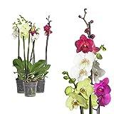 3x echte Phalaenopsis Orchideen 2 Triebe - 50 bis 70cm gro - Schmetterlingsorchidee wunderschne...