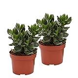 2 Geldbumchen Hulk | Geldbaum Zimmerpflanzen | spitze Bltter | Hhe 20-30cm | Topfgre  12 cm |...