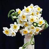 MOCRIS Daffodil Mixed Seeds 100 Kapseln/Packung