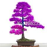 Kalash Neue 10 PC Cedar Miniascape Baumsamen für Garten Lila