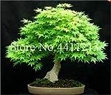 Kalash Neue 50 PC Ahornbaum Saatgut für Gartenarbeit Grün