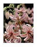 Stk - 5x Trkenbund-Lilie Pink Morning-Blumenzwiebeln Zwiebeln K-ZD180 - Seeds Plants Shop Samenbank...