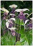 Tropica - Weie Fledermausblume (Tacca integrifolia) - 15 Samen
