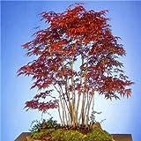 Kalash Neuer 20 PC Mini Ahornbaum Pflanzensamen für braunen Garten