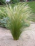 3 x Stipa tenuissima 'Pony Tails' 1 Liter (Ziergras/Grser/Stauden) Federgras ab 3,19  pro Stck