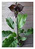 Blumenzwiebel - Fledermausblume - 1 Rhizom (Tacca chantieri)