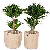 Zimmerpflanzen von Botanicly – 2 × Drachenbaum mit Jute-Übertopf als Set – Höhe: 65 cm –...