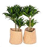 Zimmerpflanzen von Botanicly – 2 × Drachenbaum mit Kork-Übertopf als Set – Höhe: 65 cm –...