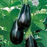 Volmary Aubergine 'Madonna'   veredelt   sichere Ernte   sehr robust   1 Pflanze