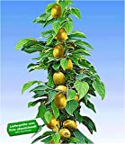 BALDUR Garten Säulen-Kiwi 'Issai', 1 Pflanze selbstfruchtend Stachelbeer-Kiwi winterharte...