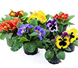 Frhlingsblumen Set 8, Primeln & Stiefmtterchen