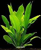 WFW wasserflora 2 Bunde Große Amazonas-Schwertpflanze/Echinodorus bleheri, Aquariumpflanze,...
