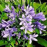 100 STÜCKE Bonsai Agapanthus Africanus Samen Blumensamen Pflanze Hausgarten Zierpflanzen Samen...