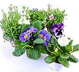 Frhlingsblumen Set 7, Nelken, Primeln, Vergissmeinnicht, Stiefmtterchen & Bellis