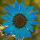 50Pcs Sonnenblumenkerne Pflanze im Frühling Sonnenschein Bevorzugen Sie Blue Flower...