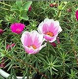 XINDUO Mehrjährig Blumen,Mischfarbe doppelte Sonnenblumenkerne-0,5 kg,Blüten Saatgut mehrjährig