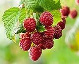 N 50 Samen Himbeersamen Himbeeren Se Frucht Kategorie gehrt (100)