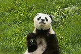 YZYGNLXS 500 Pieces for Adults, Panda Denken Impossible Puzzle Christmas Jigsaw Puzzle Geschenk...