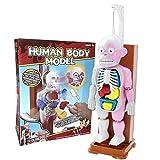 Further Weiteres menschliches Körpermodell, 4D-Vision, transparentes menschliches...