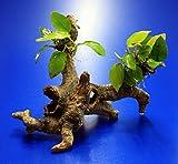 WFW wasserflora Goldenes Speerblatt-Urwaldbaum mit Höhle/Regenwaldbaum mit Anubia Nana Gold (Yellow...