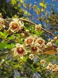 Chinesische Winterblüte Chimonanthus praecox Pflanze 35-40cm Calycanthus praecox