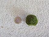 Tropica Aquarium Pflanze Mooskugel M 2-3cm Aquariumpflanze Algen Reinigung