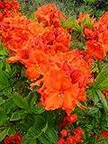kupferrot blhende Garten Azalee Rhododendron luteum Gibraltar 30 - 40 cm hoch im 5 Liter...