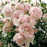 Kletterrose New Dawn - zart rosafarben blhende, duftende Topfrose im 6 L Topf - frisch aus der...