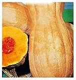 Butternut rugosa kürbiskerne - gemüse - cucurbita moschata - ca. 35 samen - die besten...