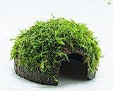 Garnelio - Moos Hhle/Coco Shell - Kokosnuss mit Xmas Aquarienmoos bewachsen/Hhle Aquarium Deko