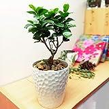 Easy Plants Aloe Vera Pflanze in weißem Keramiktopf & Herbstgoldener Kiesaufsatz Ginseng Ficus...