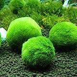 Topbilliger Pflanzen Mooskugeln 3X - 3cm - natürlicher Biofilter für`s Aquarium