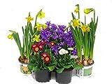 Frhlings Balkonpflanzen-Set fr Balkonksten ab 40 cm Lnge 5 winterharte Pflanzen
